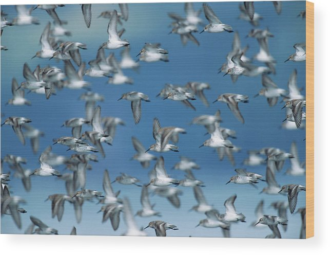 Animal Themes Wood Print featuring the photograph Western Sandpipers Calidris Mauri by Eastcott Momatiuk
