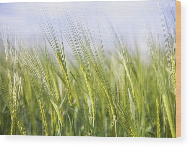 Scenics Wood Print featuring the photograph Wheat Field by Peter Chadwick Lrps