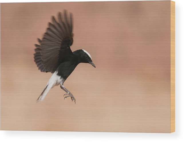 Eilat Wood Print featuring the photograph White Crowned Wheatear by Dorit Bar-zakay