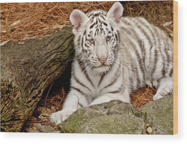 White Tiger Wood Print featuring the photograph White Tiger Cub by Empphotography