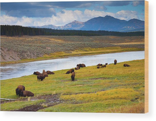 Scenics Wood Print featuring the photograph Wild Bison Roam Free Beneath Mountains by Jamesbrey