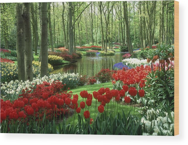 Flowerbed Wood Print featuring the photograph Woods And Stream, Keukenhof Gardens by Robin Smith