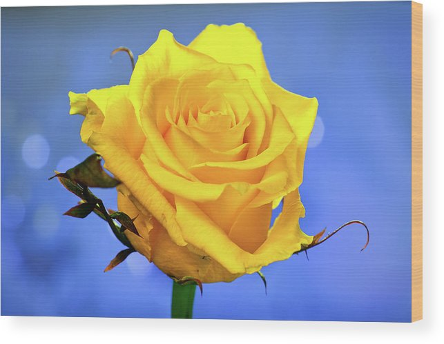 Slovenia Wood Print featuring the photograph Yellow Rose by © Karmen Smolnikar