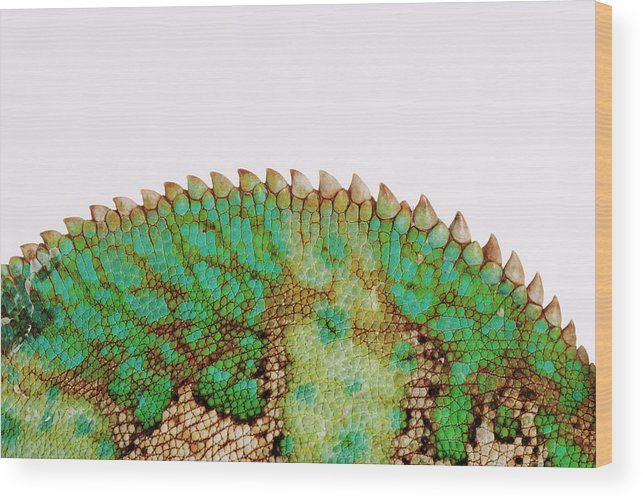 White Background Wood Print featuring the photograph Yemen Chameleon, Close-up Of Skin by Martin Harvey