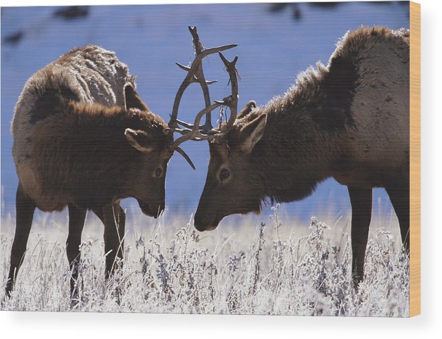 Animal Themes Wood Print featuring the photograph Young Bull Rocky Mountain Elk Cervus by Riccardo Savi
