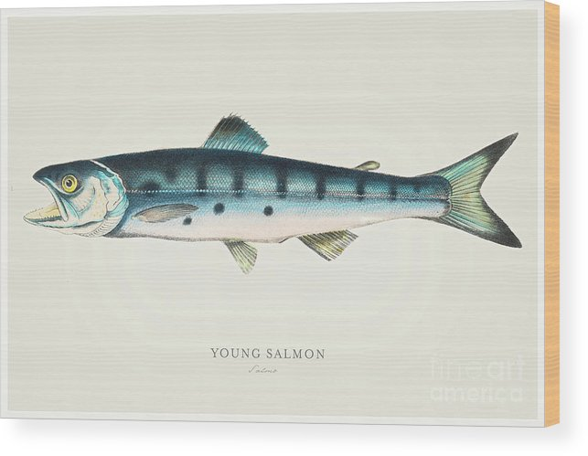 Engraving Wood Print featuring the digital art Young Salmon Illustration 1856 by Thepalmer