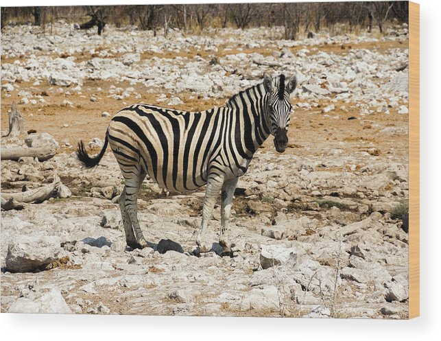 Animal Themes Wood Print featuring the photograph Zebra And White Rocks by Taken By Chrbhm