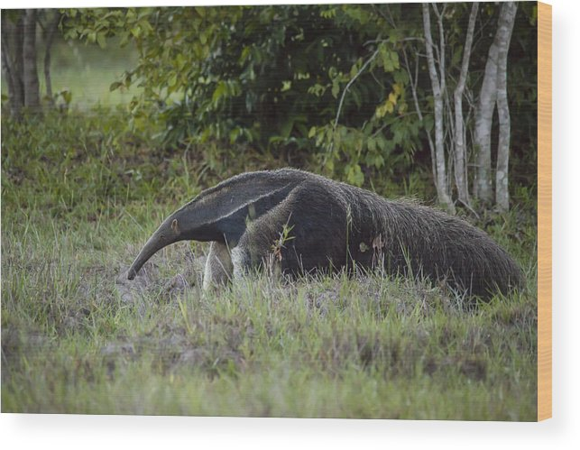 Animals In The Wild Wood Print featuring the photograph Giant anteater (myrmecophaga tridactyla), cerrado region, Brazil by Joao Inacio