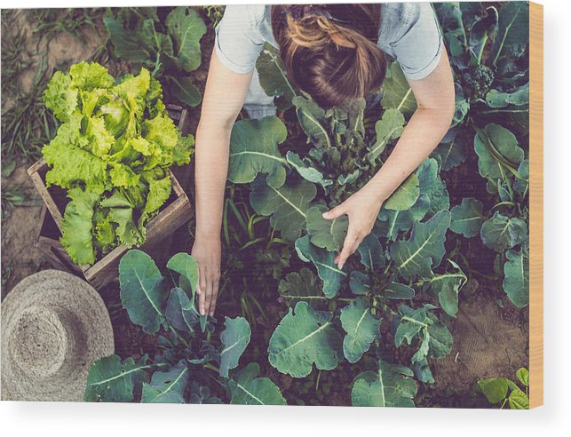 Working Wood Print featuring the photograph Young Woman Harvesting Home Grown Lettuce by Sanjeri