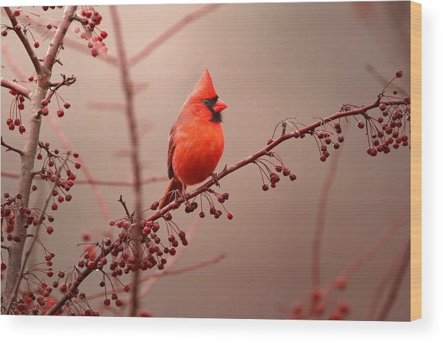 Cardinal Wood Print featuring the photograph Bold Beauty by Rob Blair