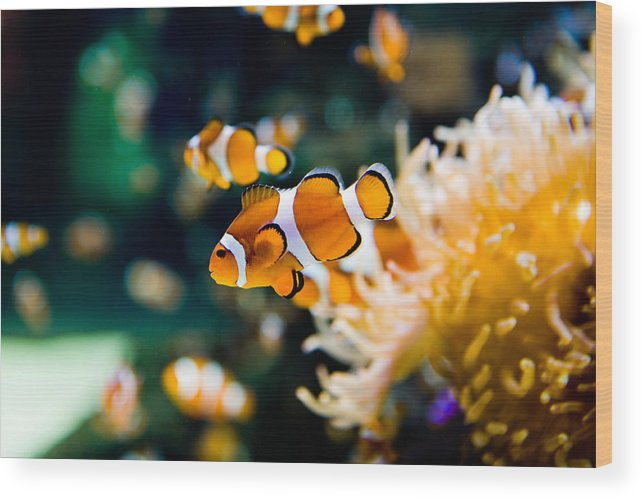 Underwater Wood Print featuring the photograph Clownfish by RapidEye
