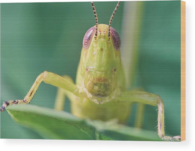 Grasshopper Wood Print featuring the photograph Grasshopper Greeting by Jim Hughes