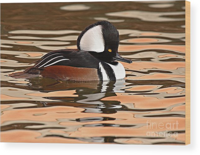 Merganser Wood Print featuring the photograph Hooded Merganser On Colorful Water by Max Allen
