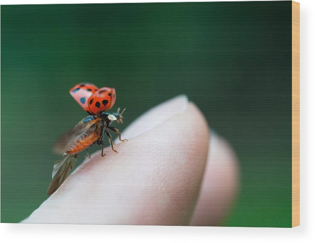 Taking Off Wood Print featuring the photograph Ladybug Just Before Flying Away From Fingertip by Assalve