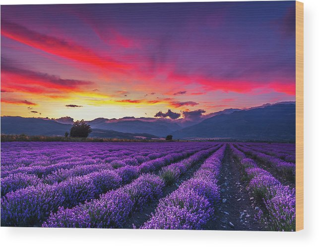 Dusk Wood Print featuring the photograph Lavender Season by Evgeni Dinev