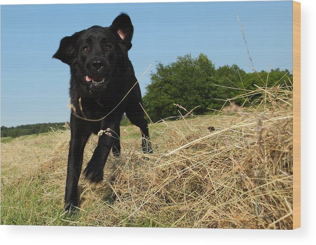 Grass Wood Print featuring the photograph Running and jumping hunting black Labrador Retreiver dog in hay by Pejft