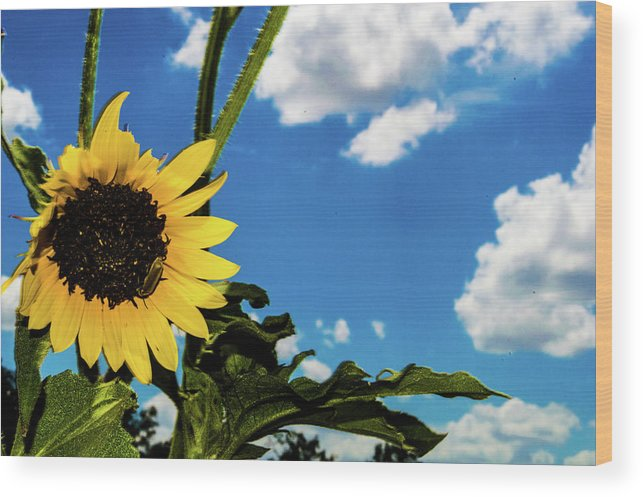 Smoke Wood Print featuring the photograph Texas Sunflower by Peyton Vaughn