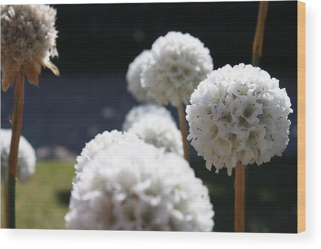 Aliums Wood Print featuring the photograph White Aliums by Vicki Cridland