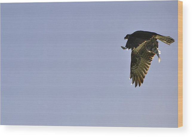 Osprey Wood Print featuring the photograph Osprey Lunch To Go III by Christine Stonebridge