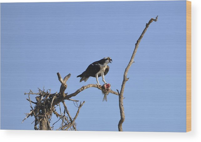 Osprey Wood Print featuring the photograph Osprey with Catch I by Christine Stonebridge