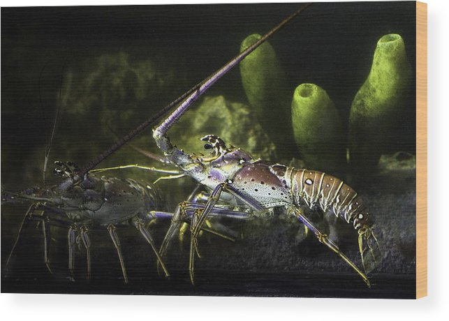Lobster Wood Print featuring the photograph Lobster in Love by Marilyn Hunt