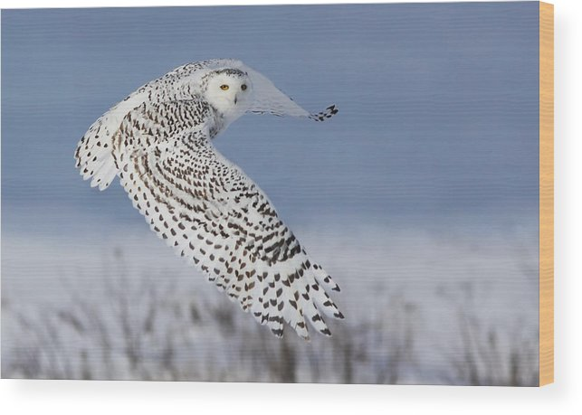 Wildlife Wood Print featuring the photograph Snowy Owl by Mircea Costina