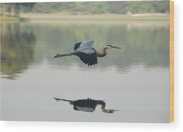 Animal Themes Wood Print featuring the photograph Great Blue Heron In Flight by Photo By Hannu & Hannele, Kingwood, Tx