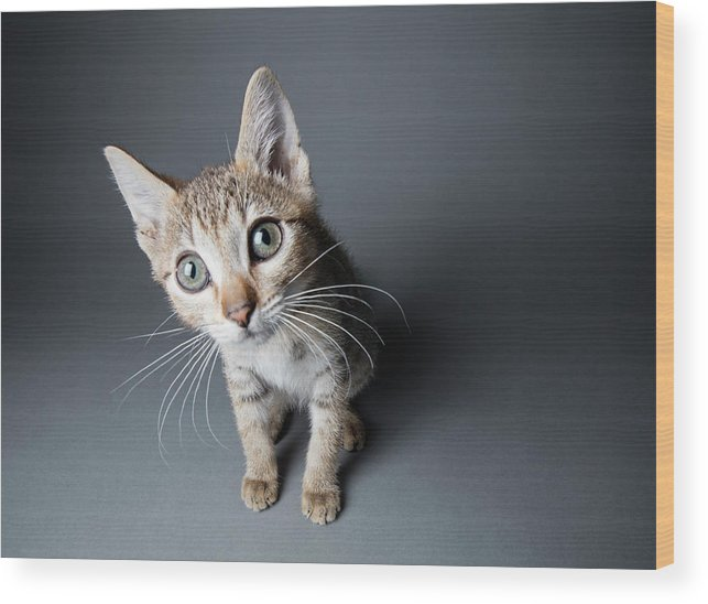 Pets Wood Print featuring the photograph Big-eyed Tabby Kitten - The Amanda by Amandafoundation.org