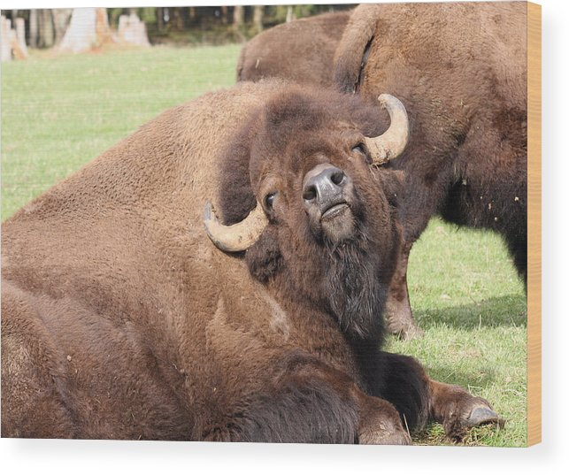 Northwest Trek Wood Print featuring the photograph American Bison - Buffalo - 0014 by S and S Photo