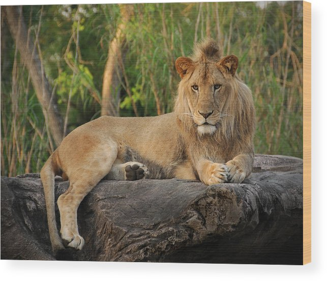 Lion Wood Print featuring the photograph Classic Young Male by Steven Sparks