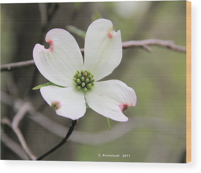 Dogwood Flower Wood Print featuring the photograph Dogwood Flower by Carolyn Postelwait