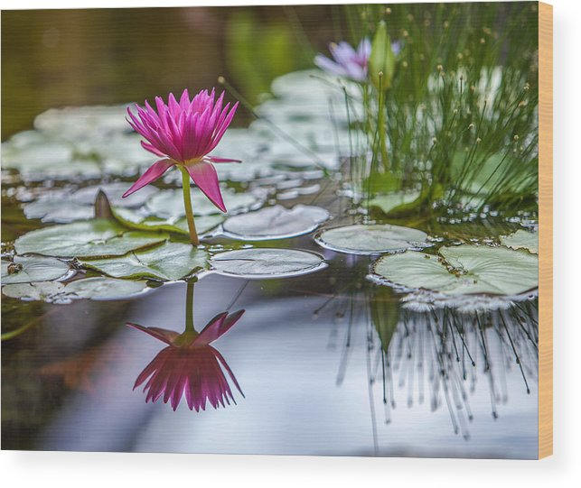 Water Wood Print featuring the photograph Lily Pad Dreams by Robert Aycock