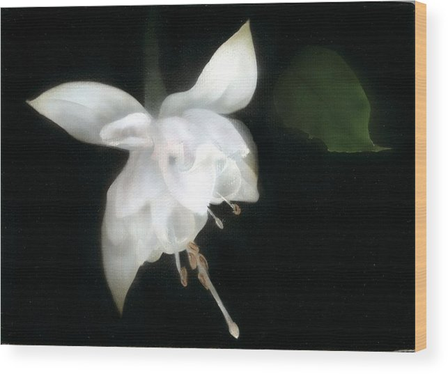 Fusia Wood Print featuring the painting White Fusia by Charles Parks