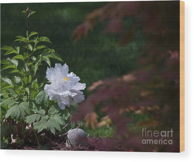 White Wood Print featuring the photograph White Peony by David Bearden
