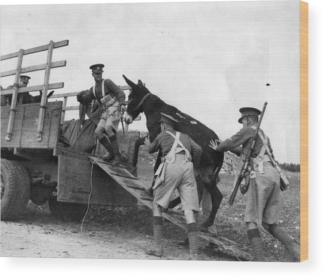 Palestinian Wood Print featuring the photograph Army Donkeys by Fox Photos