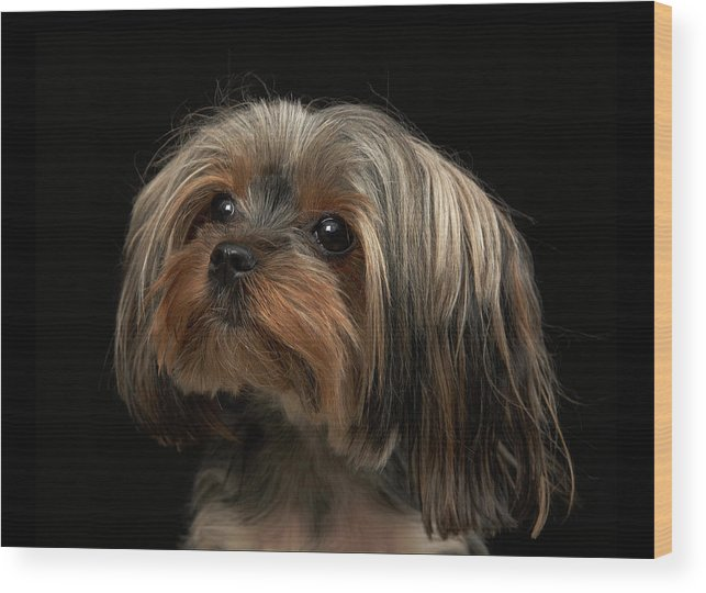 Pets Wood Print featuring the photograph Sad Yorking Face Looking To The Left by M Photo