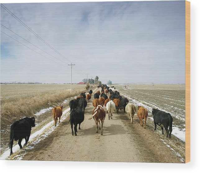 Cattle Drive Wood Print featuring the photograph Usa, Nebraska, Great Plains, Herd Of by John Kelly