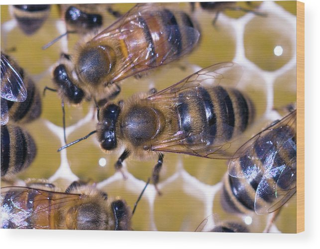 Apis Mellifera Wood Print featuring the photograph Honeybees On Honeycomb by Simon Fraser/science Photo Library