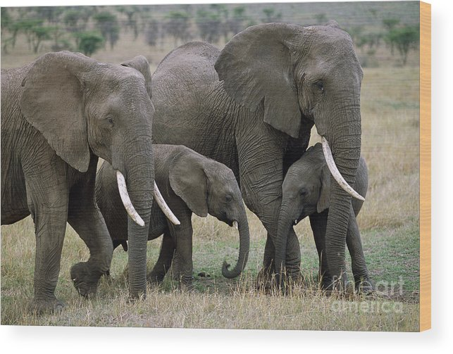 00344769 Wood Print featuring the photograph African Elephant Females And Calves by Yva Momatiuk and John Eastcott