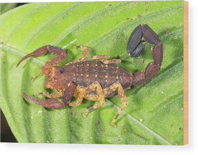 Amazon Wood Print featuring the photograph Amazonian Scorpion by Dr Morley Read