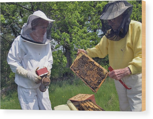 Apis Mellifera Wood Print featuring the photograph Beekeepers Inspecting A Beehive by Simon Fraser/science Photo Library