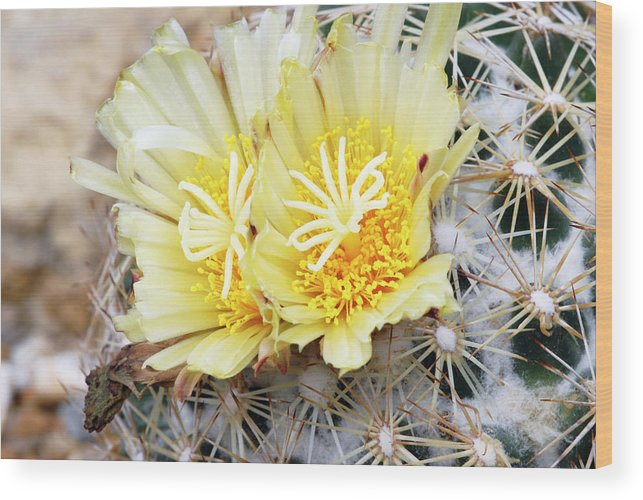 Prickly Beehive Cactus Wood Print featuring the photograph Cactus (coryphantha Echinus) by Anthony Cooper/science Photo Library