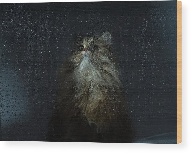 Pets Wood Print featuring the photograph Cat By Rainy Window by Benjamin Torode