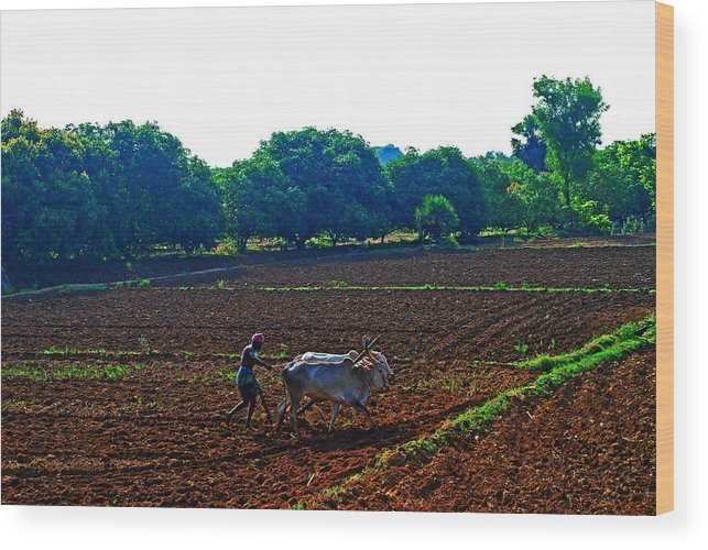 Working Animal Wood Print featuring the photograph Farmer with cow by Gopan G Nair