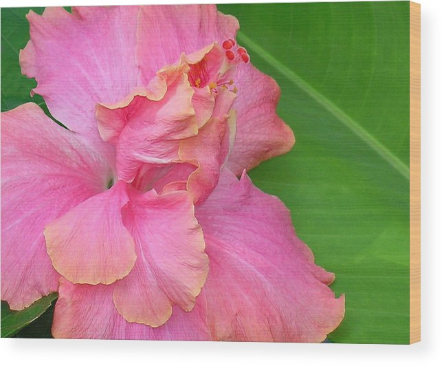 Hibiscus Wood Print featuring the photograph Favorite flower by James Temple