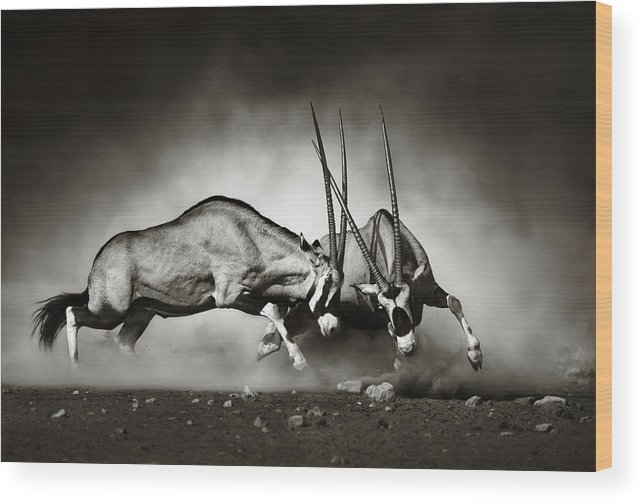 Gemsbok Wood Print featuring the photograph Gemsbok fight by Johan Swanepoel