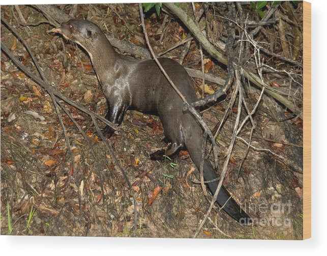 Giant River Otter Wood Print featuring the photograph Giant River Otter by Gregory G. Dimijian, M.D.