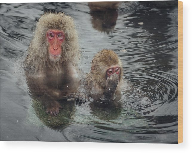 Animal Themes Wood Print featuring the photograph Japanese Snow Monkeys Enjoying The Hot by Photography By Martin Irwin