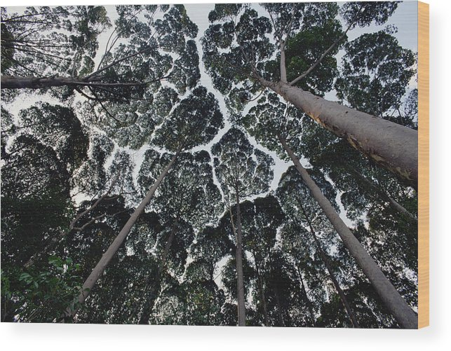 Feb0514 Wood Print featuring the photograph Kapur Trees Showing Crown Shyness by Mark Moffett