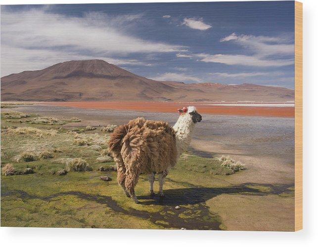 Scenics Wood Print featuring the photograph Laguna Colorado Lake With Llama by John Elk
